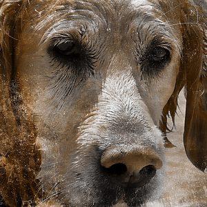 Hundebuch Golden Retriever: Giulio und die Mysterien der Liebe