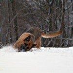Deutscher Schäferhund: Vergnügtes Spiel im Schnee
