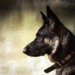 Deutscher Schäferhund Akira (Bora von den Oberbayerischen Wölfen)