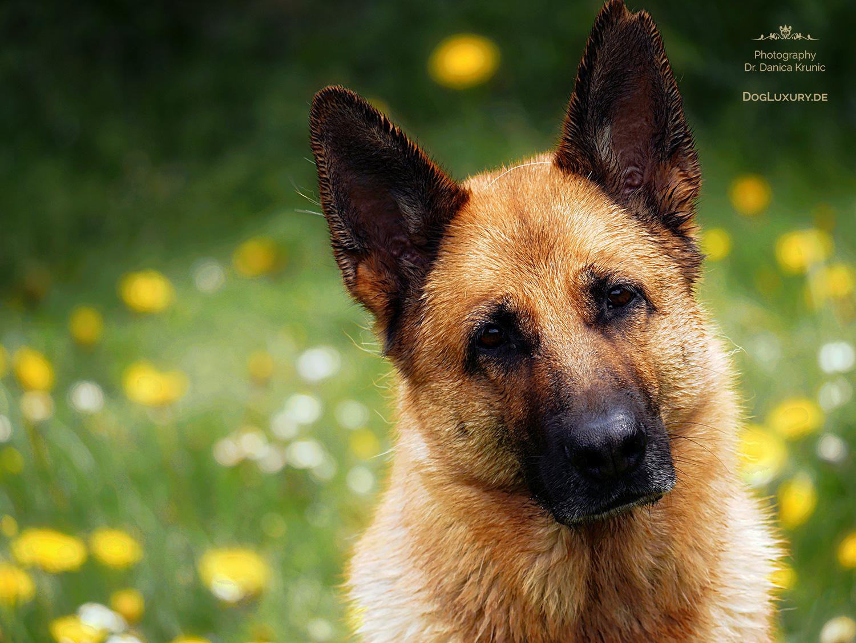 Liebeserklaerung an den Schäferhund