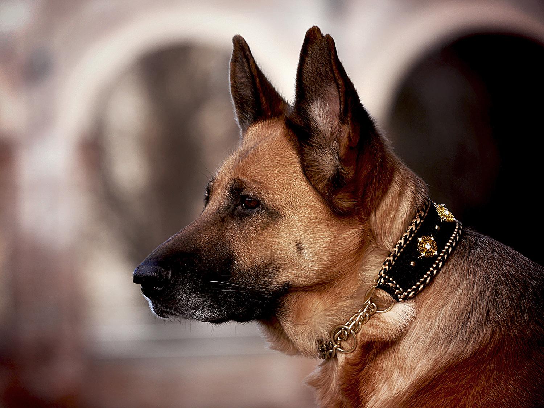 Der Deutsche Schäferhund ist ein loyaler und liebenswerter Gefährte mit neugierigem Temperament und wachsamen Wesen. Unwiderstehlich verzaubert uns seine Treue und Schönheit. LuxyDOG Gioia mit edlem Luxus Halsband in Seide