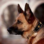 Deutscher Schäferhund LuxyDOG Gioia mit edlem Luxus Halsband in Seide