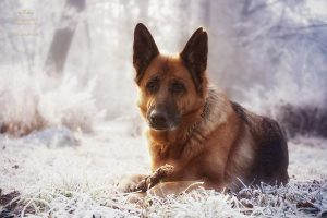 Der Deutsche Schäferhund: Portrait Fotografie im Winter