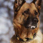 Deutscher Schäferhund mit glitzernden Eiskristallen