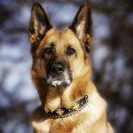 Deutscher Schäferhund mit funkelnden Hundehalsband Luxus aus Seide mit Kreuzornamenten