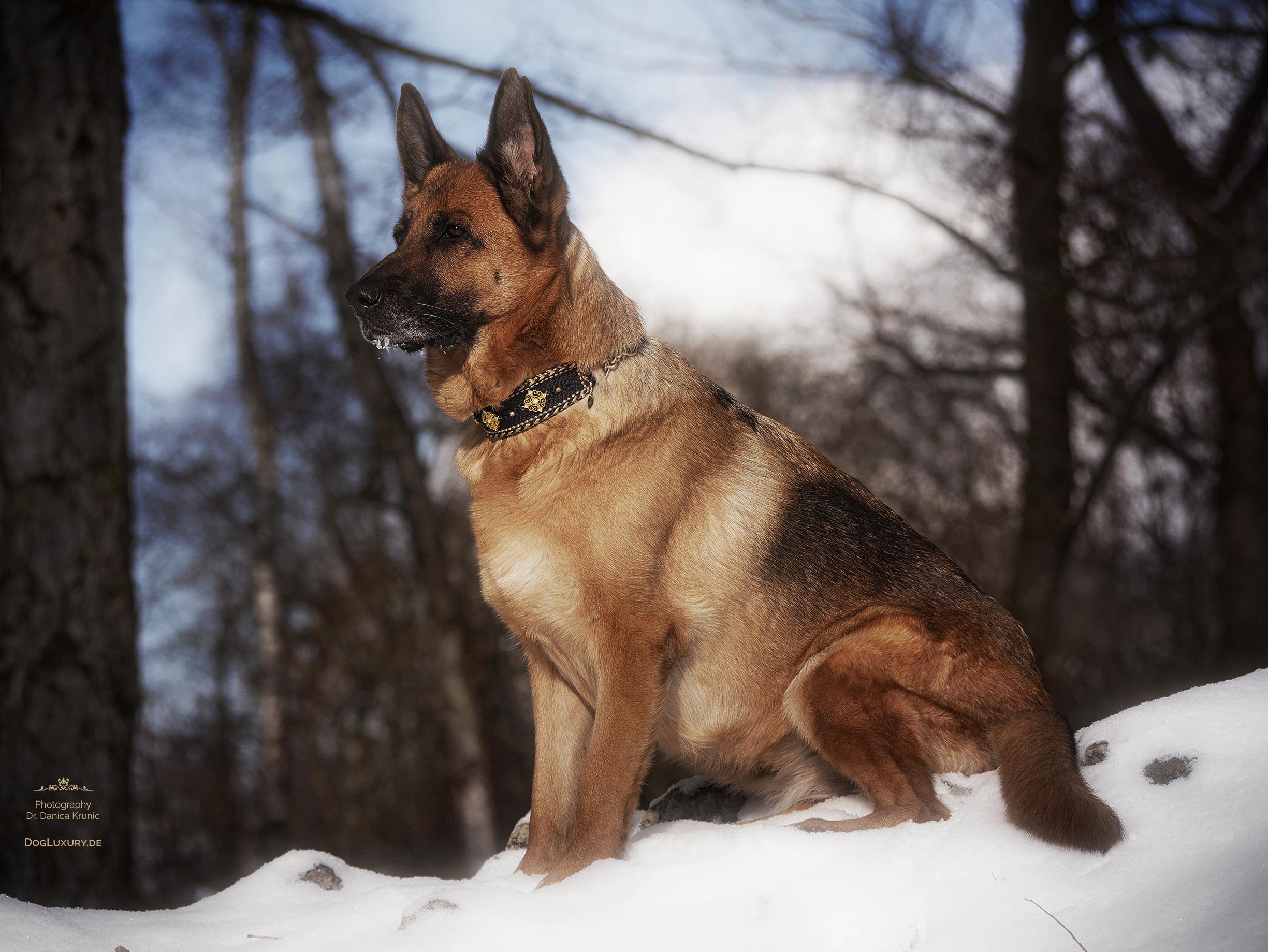 Deutscher Schäferhund liebt den Schnee
