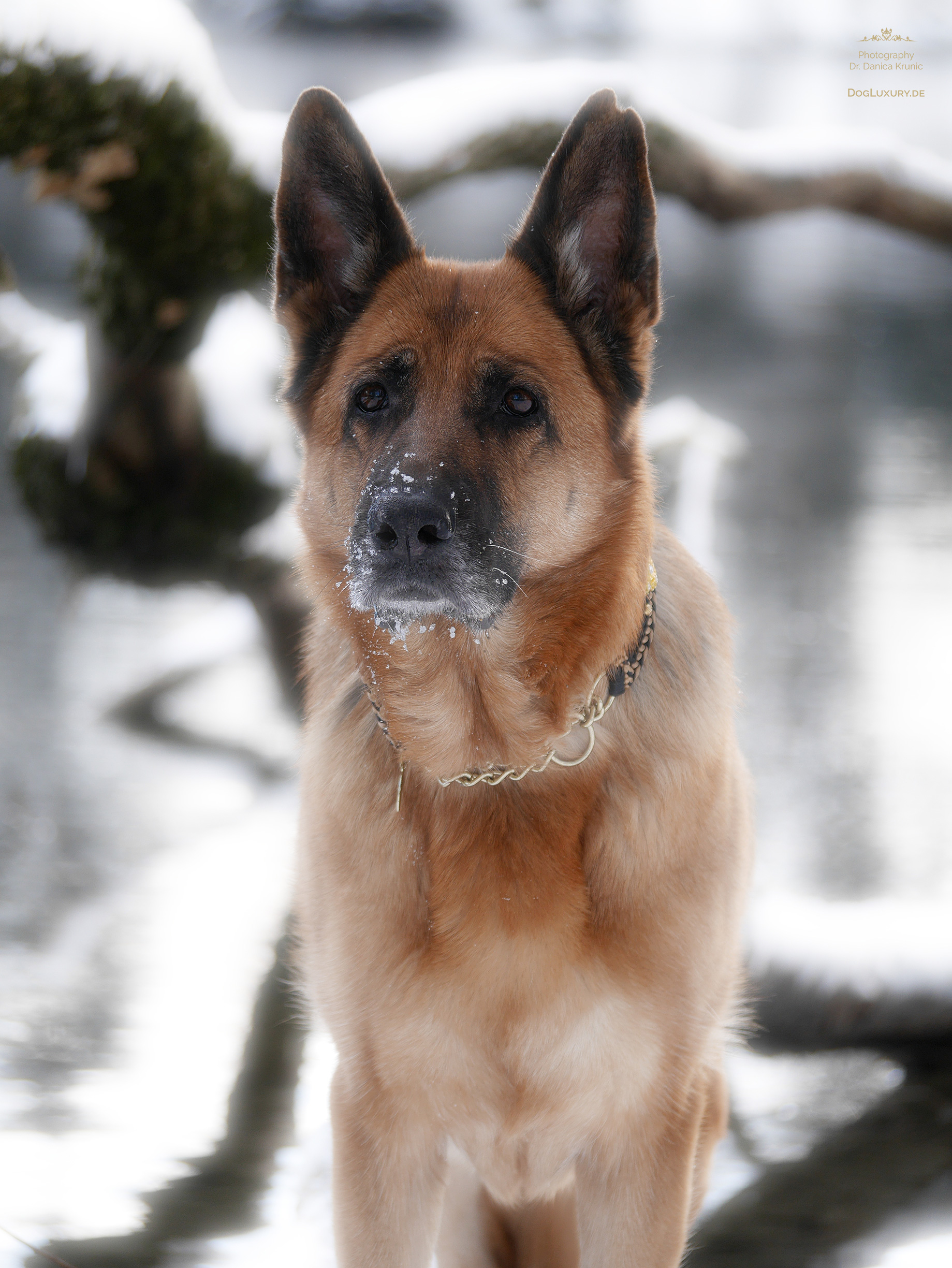 Deutscher Schäferhund - German Shepherd: Unwiderstehlich verzaubert uns seine Treue und Schönheit.