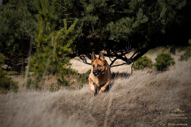 Deutscher Schäferhund in Bewegung