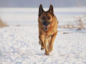Der Deutsche Schäferhund: Lebendige Fotografie im Winter