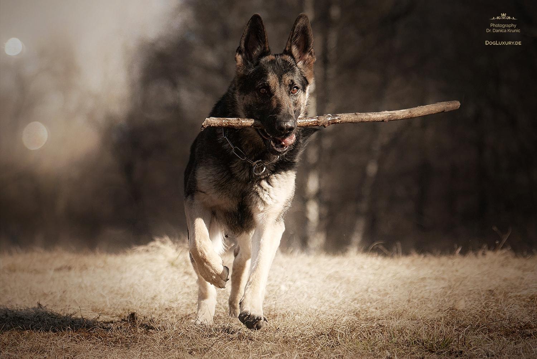 Schwarz grauer Deutscher Schäferhund
